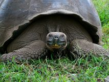 Galapagos land tortoise Royalty Free Stock Photos