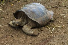 Galapagos land turtle walking stock photography
