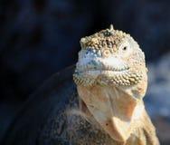 Galapagos-Landleguan Lizenzfreie Stockbilder