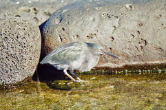 Galapagos Lava Heron royalty free stock image