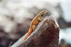 Galapagos Lava Lizard. A male lava lizard, Galapagos Islands, Ecuador stock photos