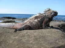 Galapagos Lava Lizard. Also known as Marine Iguana Stock Photo