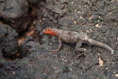 Galapagos Lava Lizard, Female Stock Photos