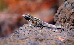 Galapagos Lava Lizard in the Galapagos stock photo