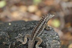 Galapagos Lava Lizard (Microlophus albemarlensis) royalty free stock photography