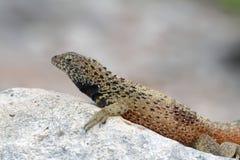 Galapagos Lava Lizard (Microlophus albemarlensis) Stock Photo