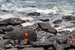 Galapagos lava shore with Sally Lightfoot crabs Royalty Free Stock Photos