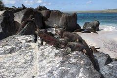 Galapagos leguan Arkivfoton