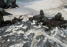 Galapagos leguan Royaltyfri Bild