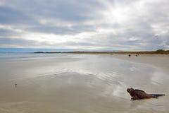 galapagos leguanflotta Royaltyfri Foto