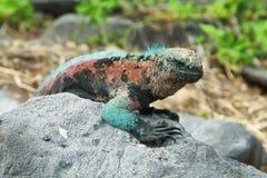 galapagos leguanflotta Fotografering för Bildbyråer