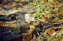 galapagos leguanland Arkivbild