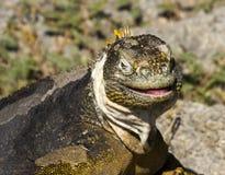 galapagos leguanland Royaltyfri Bild