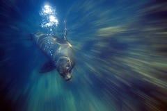 galapagos lionhav Fotografering för Bildbyråer