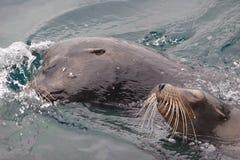 galapagos lions sea Стоковое Изображение RF