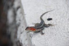 Galapagos lizard stock photo
