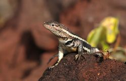 Galapagos lizard Stock Images