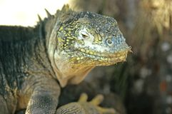 Galapagos Lizard Royalty Free Stock Photography