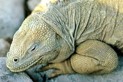 Galapagos Lizard Stock Photography