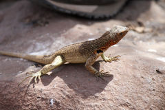 Galapagos Lizard. Lizard sitting on a rock in the Galapagos Islands stock photos
