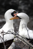 Galapagos Love. Coastal sea birds in the galapagos islands Stock Photography