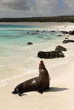 galapagos lwa morze Zdjęcie Royalty Free