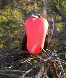 Galapagos magnificent frigatebird Fregata magnificens. Magnificent frigatebird Fregata magnificens nesting on the galapagos islands Stock Image