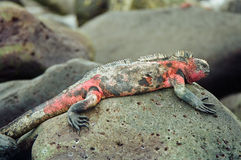 Galapagos marine iguana. A colorful Marine Iguana resting on a rock, Galapagos Islands royalty free stock photo