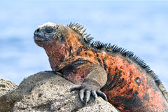 Free Galapagos Marine Iguana Royalty Free Stock Photo - 20681905