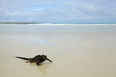 Galapagos marine Iguana. A marine iguana walking on the beach on Galapagos stock photo