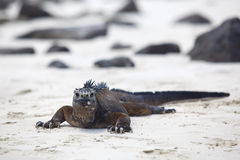 Galapagos marine Iguana royalty free stock photos