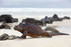 Galapagos marine Iguana. A marine iguana walking on the beach on Galapagos stock photography