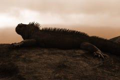 Galapagos Marine Iguana. (Amblyrhynchus cristatus) silhouette at sunset stock images