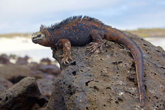 Galapagos marine Iguana. Portrait of a Marine Iguana on Galapagos royalty free stock photography