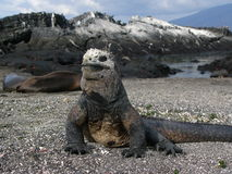 Galapagos marine iguana. Showing sea lions and birds in the background stock photos