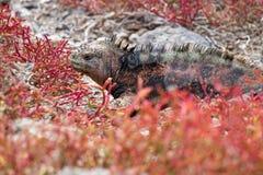 Galapagos Marine Iguana. Marine iguana in red vegetation in the Galapagos Islands in Ecuador stock photo