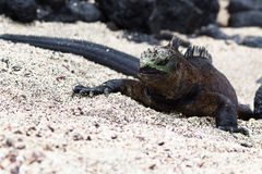 Galapagos Marine Iguana Royaltyfri Bild