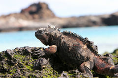 Galapagos Marine Iguana. A marine iguana looks out over the blue waters from the volcanic rocks of the Galapagos islands royalty free stock images