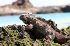 Free Galapagos Marine Iguana Royalty Free Stock Photo - 6073765