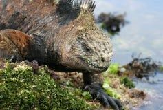 Galapagos Marine Iguana royalty free stock photo