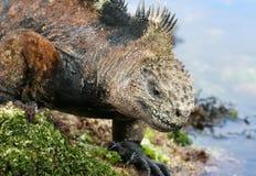 Galapagos Marine Iguana. Searching for food stock photos