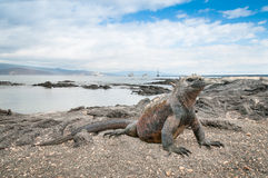 Galapagos marine iguana alert on the beach. Galapagos marine iguana with ocean bay in the background stock photography