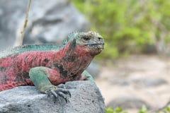Galapagos Marine Iguana Royalty Free Stock Image