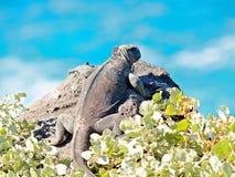Galapagos Marine Iguana Amblyrhynchus cristatus. Overlooking ocean Stock Photo