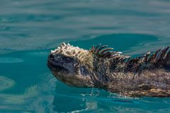 Galapagos Marine iguana. A Marine iguana Amblyrhynchus cristatus swimming on the surface of the Pacific Ocean near the Galapagos Islands, Ecuador stock photo