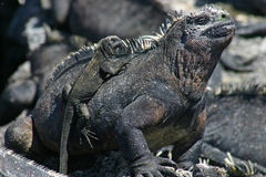 Galapagos Marine Iguana and Baby Stock Photos