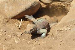 Galapagos Marine Iguana in a burrow Royalty Free Stock Photos