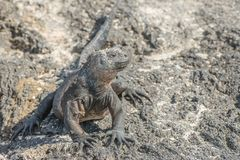 Galapagos Marine Iguana chauffant dans les rayons des soleils Images stock