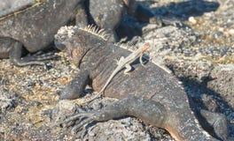 Galapagos Marine Iguana chauffant dans les rayons des soleils Photo libre de droits