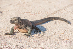 Galapagos Marine Iguana che riscalda nei raggi dei soli Fotografie Stock Libere da Diritti